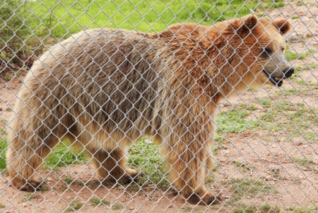carnivora: A Grizzly Bear Stands Just Inside the Fence of its Zoo Enclosure