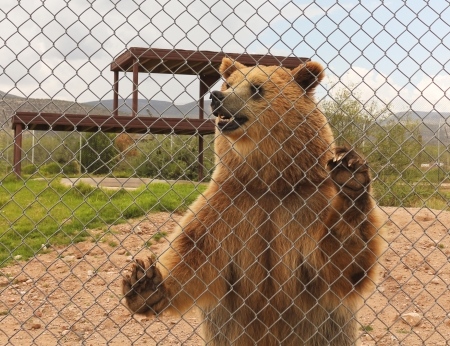 A Grizzly Bear Stands Against the Fence of its Zoo Enclosure
