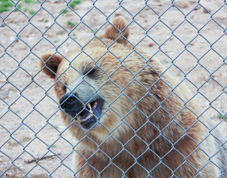A Grizzly Bares its Teeth Just Inside the Fence of its Zoo Enclosure Stock Photo - 21647272