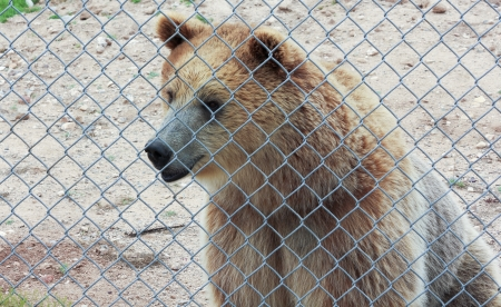 A Curious Grizzly Bear Just Inside the Fence of its Zoo Enclosure Stock Photo - 21647274