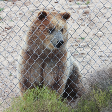 A Curious Grizzly Bear Just Inside the Fence of its Zoo Enclosure Stock Photo - 21647275