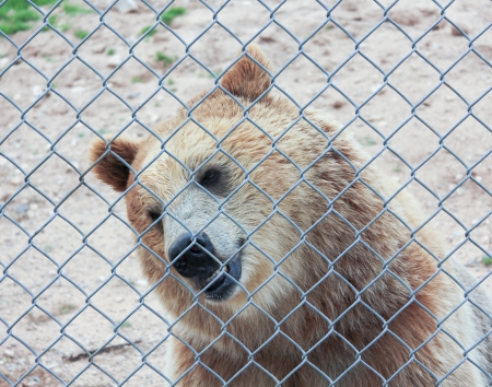 A Grizzly Bears Face Just Inside the Fence of its Zoo Enclosure photo