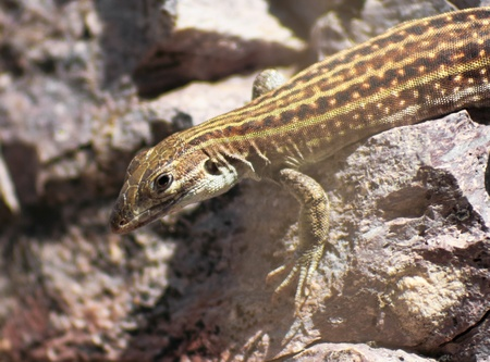 A New Mexican Whiptail Lizard Clings to a Rock Face Stock Photo