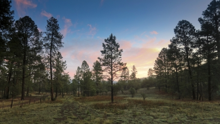 ponderosa pine: A Moment Just Before Sunrise in a Mountain Ponderosa Pine Forest