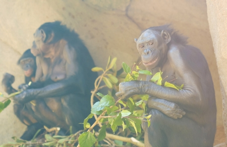 bonobo: An Old Bonobo Couple and Baby Eat Leaves While Sitting Against a Rock Face Stock Photo