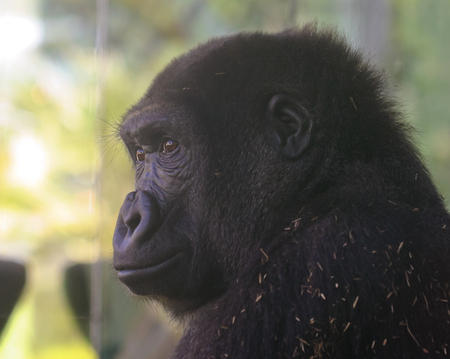 bright eyed: A Bright Eyed Zoo Gorilla Watches from its Enclosure Stock Photo