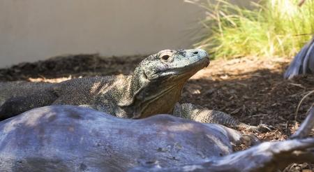 A Komodo Dragon, or Komodo Monitor, in its Zoo Enclosure Stock Photo