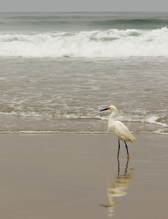 A Snowy Egret Foraging for Aquatic Animal Life on a Beach photo