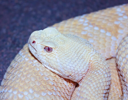 carnivore: A Close Up of an Albino Western Diamondback Rattlesnake, Crotalus atrox Stock Photo