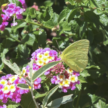 lepidopteran: A Sulfur Butterfly Drinks Nectar Amongst Green Leaves and Pink and Yellow Flowers