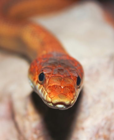mouth close up: A Close Up look at a Ground Snake, Sonora semiannulata