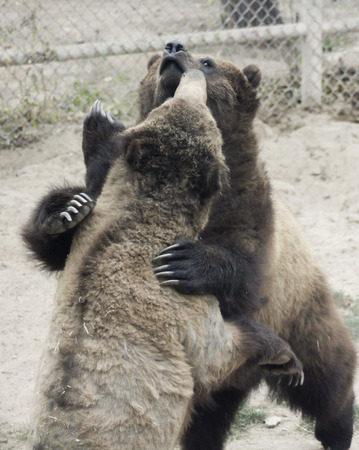 spar: A Grizzly Bear Pair Spar Inside the Fence of Their Zoo Enclosure Stock Photo