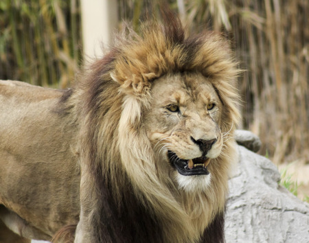 grins: A Male Lion Grins in His Zoo Enclosure