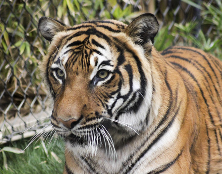 A Close Portrait of a Bengal Tiger in a Zoo Cage photo