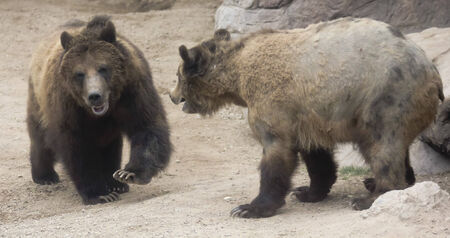 carnivora: A Grizzly Bear Pair Faces Off Preparing for Battle Stock Photo