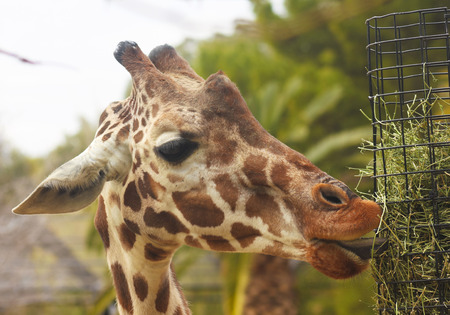 A Zoo Giraffe Uses its Long Tongue to Eat Hay Stock Photo