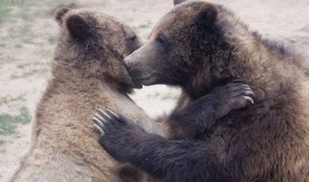 carnivora: A Grizzly Bear Pair Embrace in the Wild, Head to Head Stock Photo