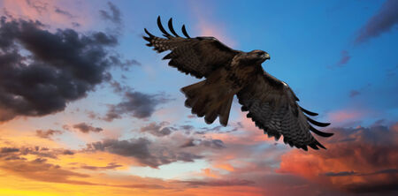 tailed: A Red-tailed Hawk Soaring in a Gorgeous Sunset Sky