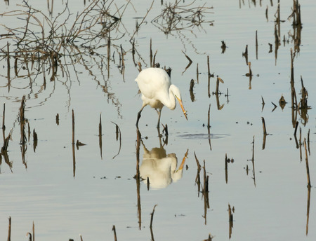 An Egret Hunting in a Marsh Catches a Fish Imagens