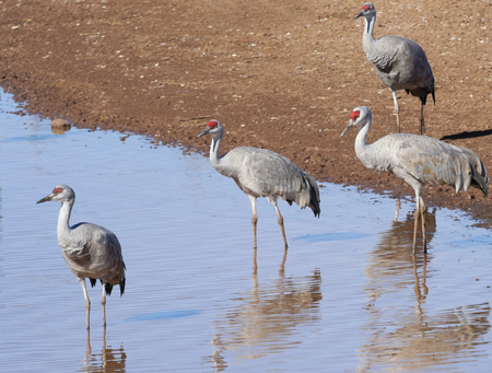 roost: A Group of Sandhill Cranes Wade in a Pond