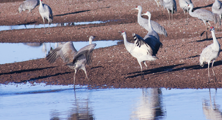 A Flock of Sandhill Cranes Stand by a Pond photo