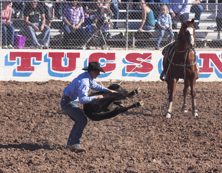 Tucson, Arizona - February 15: The La Fiesta De Los Vaqueros Rodeo on February 15, 2014, in Tucson, Arizona. The Tie-Down Roping event in the 2014 Tucson Rodeo.