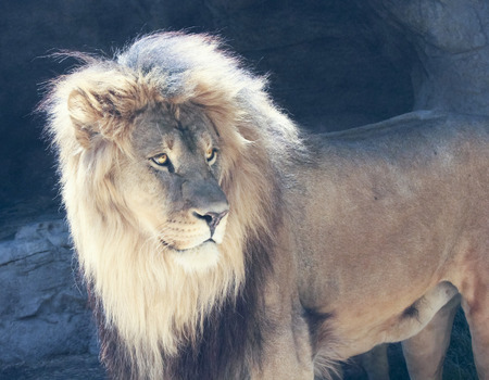 vigilant: A Male Lion with a Sunlit Mane Peers Watchfully Stock Photo