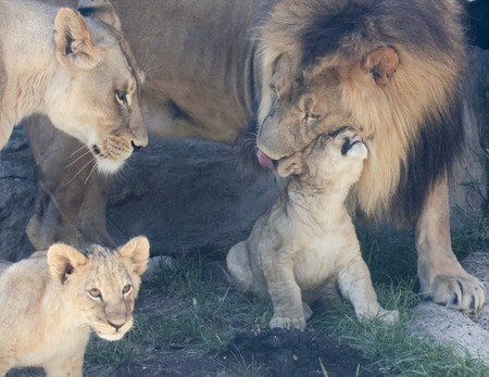 offspring: A Tender Moment Between Parent and Offspring in a Lion Family with Two Little Cubs