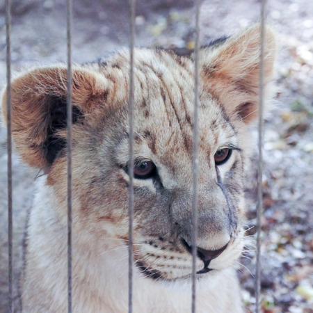 soulful eyes: A Close Up Lion Cub Stares Out from Inside the Bars of its Zoo Enclosure Stock Photo