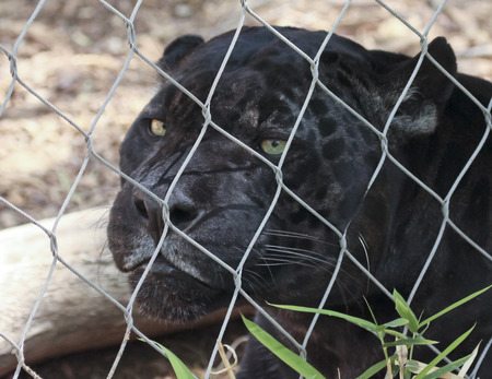 striping: A Close Up Black Panther Inside the Wire of its Zoo Enclosure Stock Photo