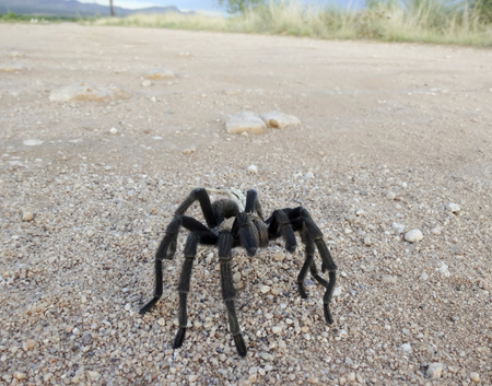 rican: A Costa Rican Tarantula, also known as Desert Tarantula, on a Dirt Road in Monsoon Season