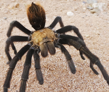arachnophobia: A Close Up Costa Rican Tarantula, also known as Desert Tarantula, Commonly Seen in Monsoon Season