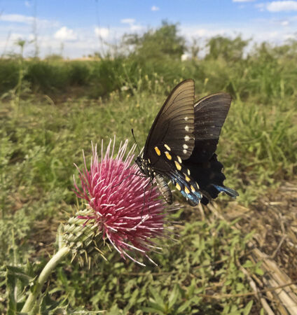 papilionidae: A Swallowtail Butterfly on a Spiny Thistle in a Green Field on a Sunny Day