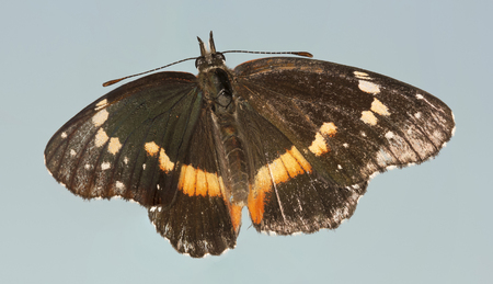 north american butterflies: A Bordered Patch Butterfly, or Chlosyne lacinia