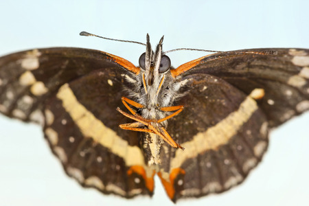 A Bordered Patch Butterfly, or Chlosyne lacinia, Family Nymphalidae photo