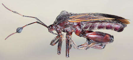 predatory insect: A Close Up of an Assassin Bug, Order Hemiptera