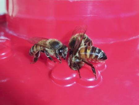 tarsus: A Trio of Honey Bees at a Hummingbird Feeder Stock Photo
