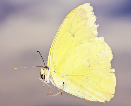 pieridae: A Close Up View of a Sulfur Butterfly, Family Pieridae, Subfamily Coliadinae