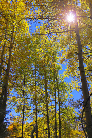 quaking aspen: A Skyward View of a Stand of Mountain Aspens with Lens Flare
