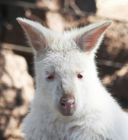 recessive: A Close Up Portrait of the Head of an Albino Wallaby, Macropus