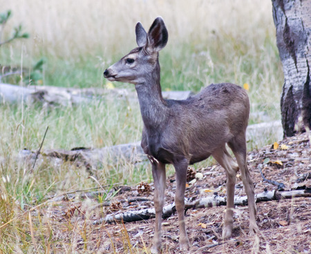 An Alert Young Deer Stands Watchfully in the Forest photo