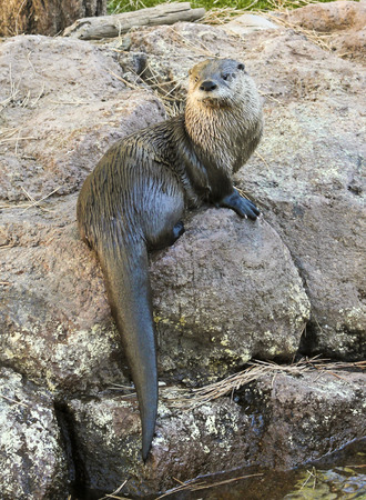 A River Otter Dries Himself Off on a Rock
