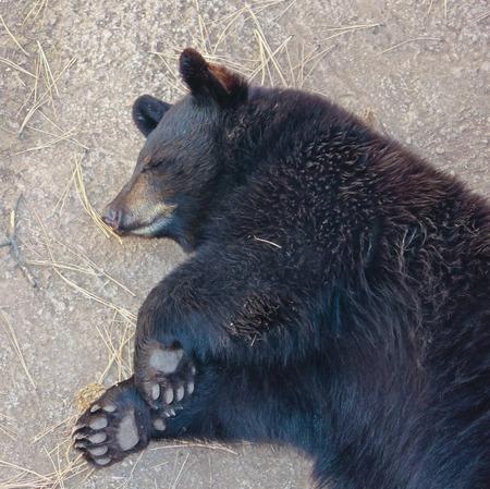 oso negro: Un retrato de cerca de un Dormir Negro Oso Cub