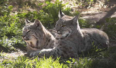 mated: A Pair of Bobcats Rest Together in Dappled Sunshine Stock Photo