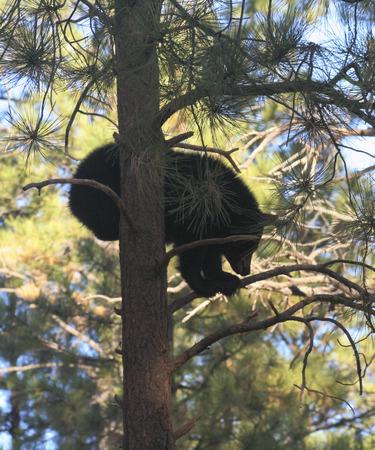 ursus: A Portrait of a Black Bear Cub Up a Pine Tree