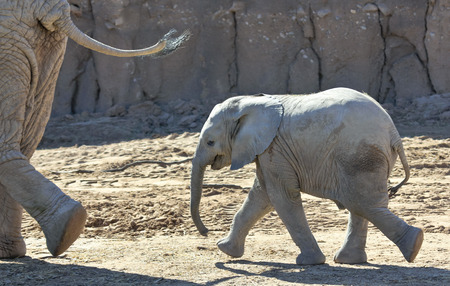 mothering: A Baby African Elephant Trots to Keep Up with its Mother Stock Photo
