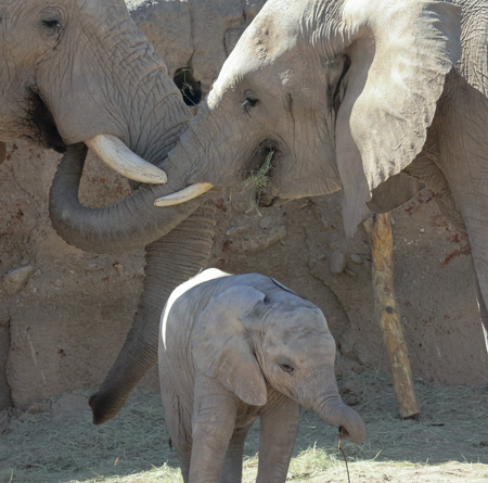 A Close Up Portrait of an African Elephant Family