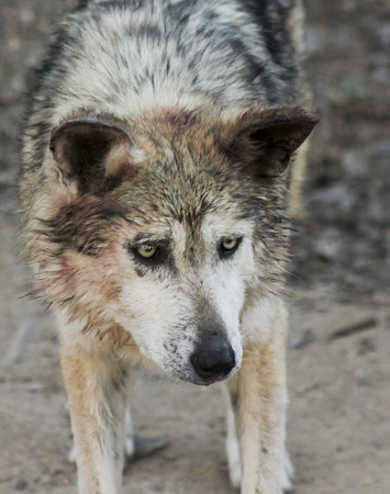 canis: A Mexican Gray Wolf, Canis lupus, largest of wild dogs and found only in the wilderness