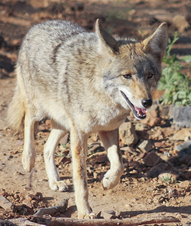 trickster: A Close Up Portrait of a Coyote, Canis latrans Stock Photo