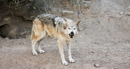 A Mexican Gray Wolf, Canis lupus Stock Photo